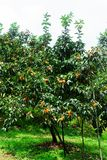 Thailand persimmon tree. Thailand persimmon tree ( kaki ) with fruits royalty free stock photos