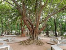 Thailand pho tree and bench Stock Images
