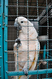 Thailand, Phuket, convict parrot Stock Photography