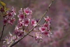 Thailand pink Sakura flower in ChiangMai, Thailand Stock Images