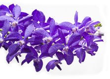 Thailand purple orchids. Isolation Royalty Free Stock Image