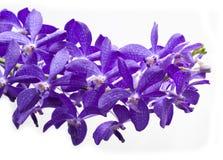 Thailand-Purpurorchideen Lizenzfreies Stockbild