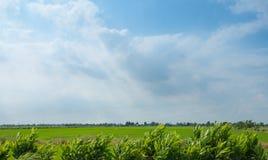 Thailand-Reisfeld und blauer Himmel Stockbilder