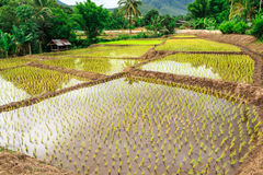 Thailand rice farm. The farmer in Thailand grow rice in rain season Stock Photography