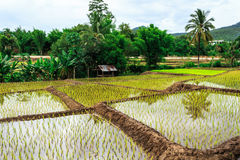 Thailand rice farm. The farmer in Thailand grow rice in rain season Stock Photos