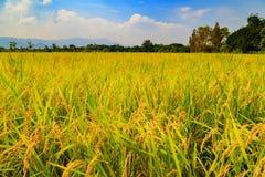 Thailand rice farm plantation Stock Image