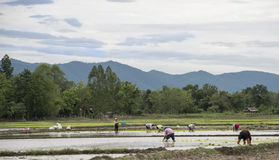 Thailand rice farmers planting rice in the paddy fields. Thailand rice farmers planting rice in the paddy fields with water Stock Photo