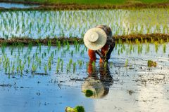 Thailand rice farmers planting season. Thailand rice farmers planting season for household consumption and for income of the family for a long time,Farmers grow Royalty Free Stock Photo