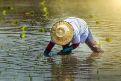 Thailand rice farmers planting season. Thailand rice farmers planting season for household consumption and for income of the family for a long time,Farmers grow Royalty Free Stock Image