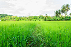 Thailand rice field. Asian landscape, rice fields from Thailand, Thailand is a major exporter in the world rice market Stock Image
