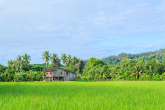 Thailand rice field. Organic rice field in thailand Stock Photos