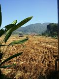 Thailand rice fields. Thailand rice farm, northern looking on to mountains with a blue sky Royalty Free Stock Images