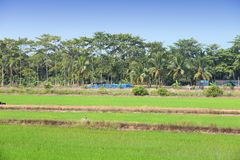 Thailand rice fields. Thailand, Southeast Asia - countryside view of Prachin Buri province. Rice fields and coconut plantation Royalty Free Stock Image