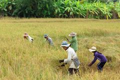 Thailand Rice harvest Stock Photos