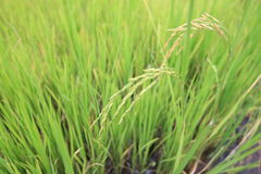 Thailand Rice. Rice in thailand  near by keep Stock Photo
