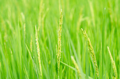 Thailand Rice. Rice Rice Paddy Thailand Field Green, Plant Asia Backgrounds No People Photography southeast Indochina Horizontal Tropical Climate Color Image Royalty Free Stock Image