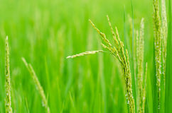 Thailand Rice. Rice Rice Paddy Thailand Field Green, Plant Asia Backgrounds No People Photography southeast Indochina Horizontal Tropical Climate Color Image Royalty Free Stock Images