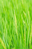 Thailand Rice. Rice Rice Paddy Thailand Field Green, Plant Asia Backgrounds No People Photography southeast Indochina Horizontal Tropical Climate Color Image Stock Photography