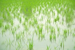 Thailand rice. Ricefield for northernthailand stock photography