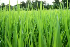 Thailand rice seedlings. Rice seedlings made grow agriculture in thailand stock photo