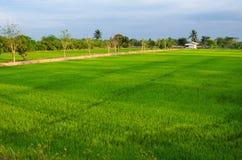 Thailand ricefield Royaltyfri Bild