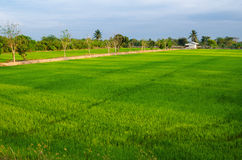 Thailand ricefield Royalty Free Stock Image