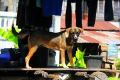 Thailand Ridgeback dog. Popular culture watch a fierce love a human-friendly Stock Images