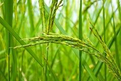 Thailand ris. Arkivfoto