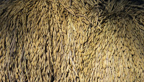Thailand ris (grova spiken) Arkivbilder