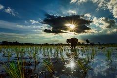 Thailand risbönder som på länge planterar säsongen för hushållförbrukning och för inkomst av familjen Royaltyfri Bild
