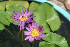 Thailand rosa och purpurfärgad lotusblomma royaltyfria bilder