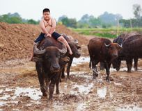 Thailand Rural Traditional Scene, Thai farmer shepherd boy is riding a buffalo, tending buffaloes herd to go back farmhouse. Thai Upcountry Culture, Living Royalty Free Stock Images