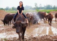 Thailand Rural Traditional Scene, Thai farmer shepherd girl is riding a buffalo, tending buffaloes herd to go back farmhouse. Thai Upcountry Culture, Living stock photography