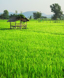Thailand's rise fields Stock Photo
