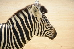 Head of zebra Royalty Free Stock Images