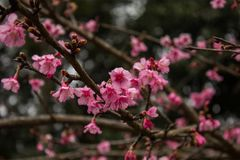 Thailand Sakura pink flower in ChiangMai. Thailand Stock Photography