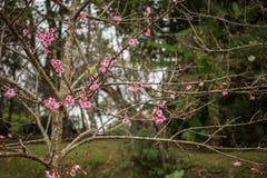 Thailand Sakura pink flower in ChiangMai. Thailand Royalty Free Stock Images