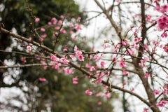Thailand Sakura pink flower in ChiangMai. Thailand Royalty Free Stock Image