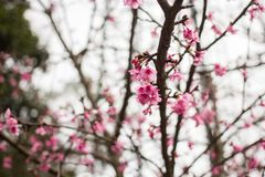 Thailand Sakura pink flower in ChiangMai. Thailand Stock Photos