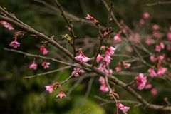 Thailand Sakura pink flower in ChiangMai. Thailand Royalty Free Stock Photo