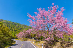 Thailand Sakura pink flower in ChiangMai, Thailand, Wild Himalay Stock Photos