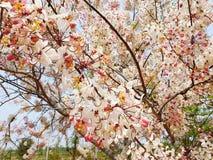 Thailand sakura sherry royalty free stock image