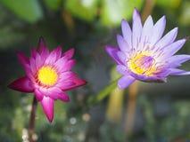 Thailand schöne Lotus Pink und purpurrote Farbe Stockfotos