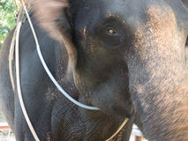 Thailand sightseeing elephant Royalty Free Stock Image