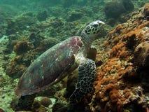 thailand sköldpadda Fotografering för Bildbyråer