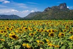 Thailand-Sonnenblume stockfotos