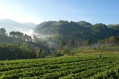 Thailand. Strawberies Farm in chiangrai Royalty Free Stock Photos