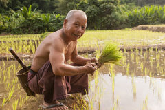 Thailand, thailändische Landwirtmänner, die auf dem Reisgebiet arbeiten Lizenzfreie Stockfotografie