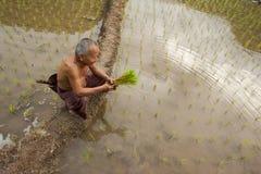 Thailand, thailändische Landwirtmänner, die auf dem Reisgebiet arbeiten Stockbild