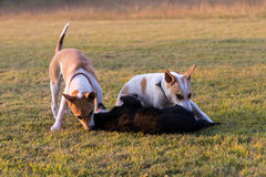 Thailand three dogs play. Royalty Free Stock Photography